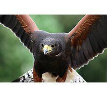 Harris' Hawk Photographic Print