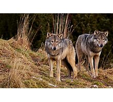 Two Wolves Photographic Print