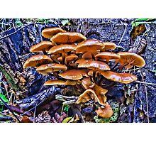 Velvet Foot Mushrooms Photographic Print