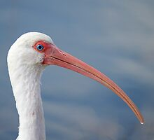 Oh No I have a Runny Beak (ibis) by imagetj