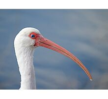 Oh No I have a Runny Beak (ibis) Photographic Print