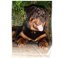 Beautiful Adolescent Female Rottweiler In Garden Poster