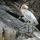 Heron with Prey - Potomac River/Great Falls VA by Bine