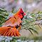 The Christmas Robin / Cardinal