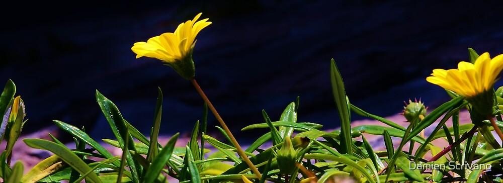 Sunflower Beauty by Damien Scrivano