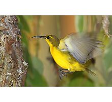 Nest building Sunbird Photographic Print