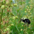 Nature - Bee by MsSLeboeuf