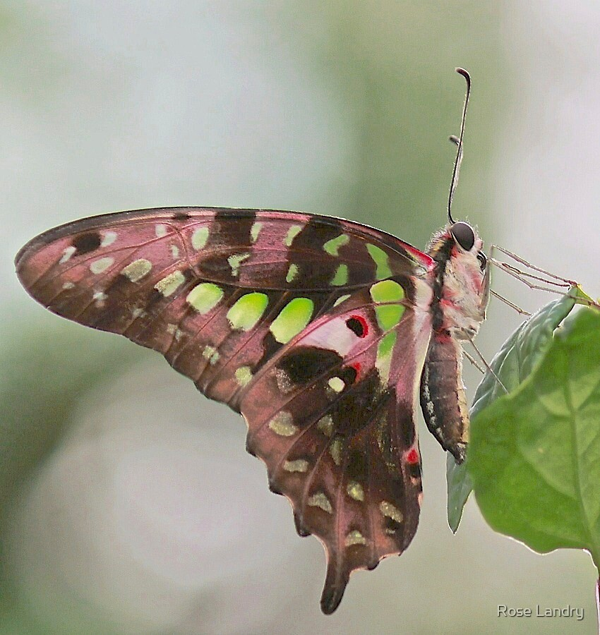 Swallowtail ??? by Rose Landry