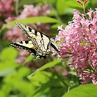 Canadian Tiger Swallowtail Butterfly 2 by Rich Fletcher