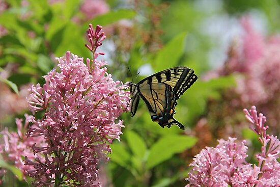 Canadian Tiger Swallowtail Butterfly  by Rich Fletcher