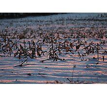 Corn Field Winter Sunset  Photographic Print