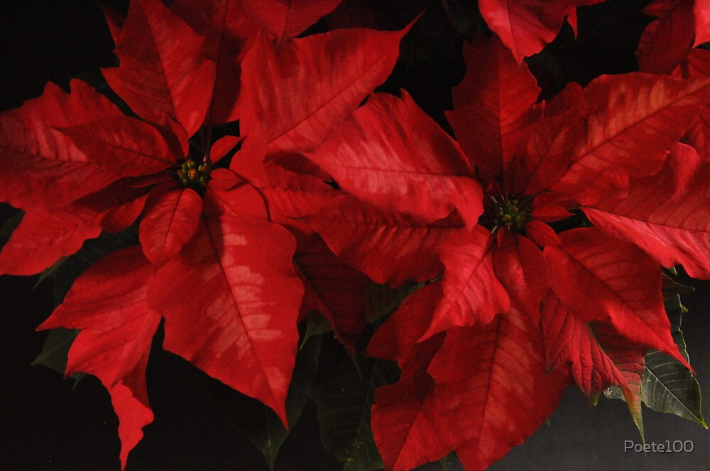 Rich Reds Poinsettias by Poete100