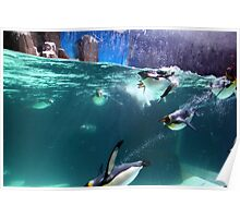 Gentoo Penguins Poster