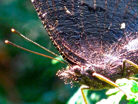 This Mourning Cloak needs a close shave by MarianBendeth