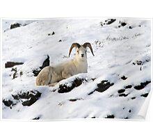 Dall Sheep in Atigun Pass Poster