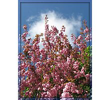 Pink Tree Blossoms Photographic Print