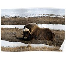 Musk Ox Resting Poster