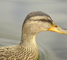 Duck by Annie Lemay  Photography