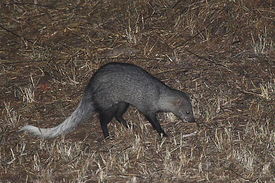 White-tailed Mongoose at Night by Carole-Anne