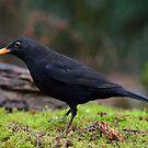 Blackbird by Peter Wiggerman