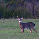 September Buck by Jim Cumming