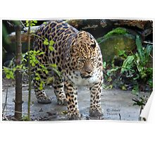 On the edge of extinction..The Amur leopard Poster