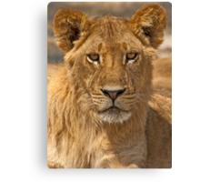 Young Lion (Panthera leo) Canvas Print