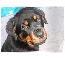 Female Rottweiler Puppy Making Eye Contact Poster