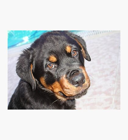Female Rottweiler Puppy Making Eye Contact Photographic Print