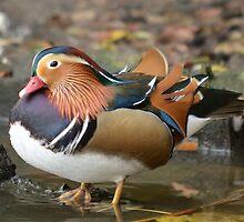 Mandarijn Eend / Mandarin Duck by MaartenMR