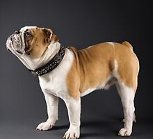 ENGLISH BULLDOG IN SPIKED COLLAR by monkeydesigns4u