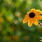 Single Rudbeckia by Karen Havenaar