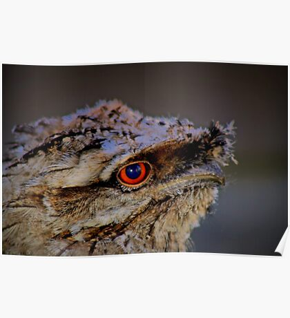 Tawny Frogmounth  Poster