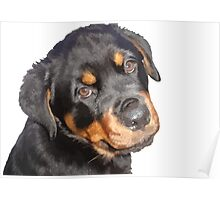 Female Rottweiler Puppy Making Eye Contact Vector Isolated Poster