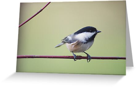 Chick-a-dee on red twigged dogwood by Penny Rinker