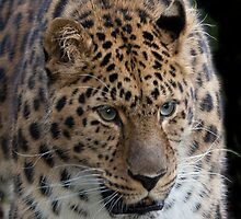 Again the Amur Leopard  by John44