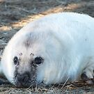 Donna Nook Seal by LeaGerard