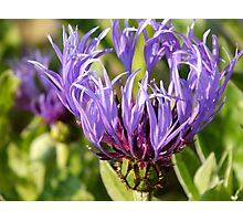Summer cornflower Photographic Print