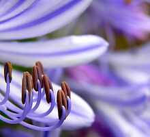 Agapanthus patterns by Michelle Ricketts
