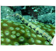 Pipefish on Favid Poster