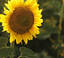 GIANT SUNFLOWER by monkeydesigns4u