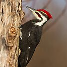 Male Pileated Woodpecker by Bill McMullen