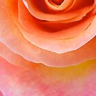 Sunset Peach Rose by ckphoto