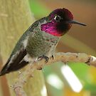 Anna's Hummingbird (Male) by Kimberly Chadwick