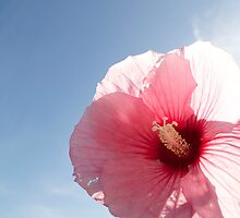 Pink Hibiscus by ckphoto