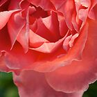 Friendly Pink Rose by ckphoto