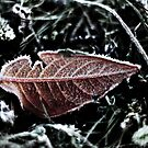Leaf & Frost by Robert Worth