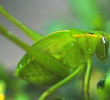 Caedicia simplex by andrachne