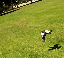 The Money Shot - Magpie In Flight College Park by Robert Phillips