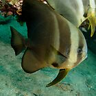 Long-finned Batfish - Platax teira by Andrew Trevor-Jones